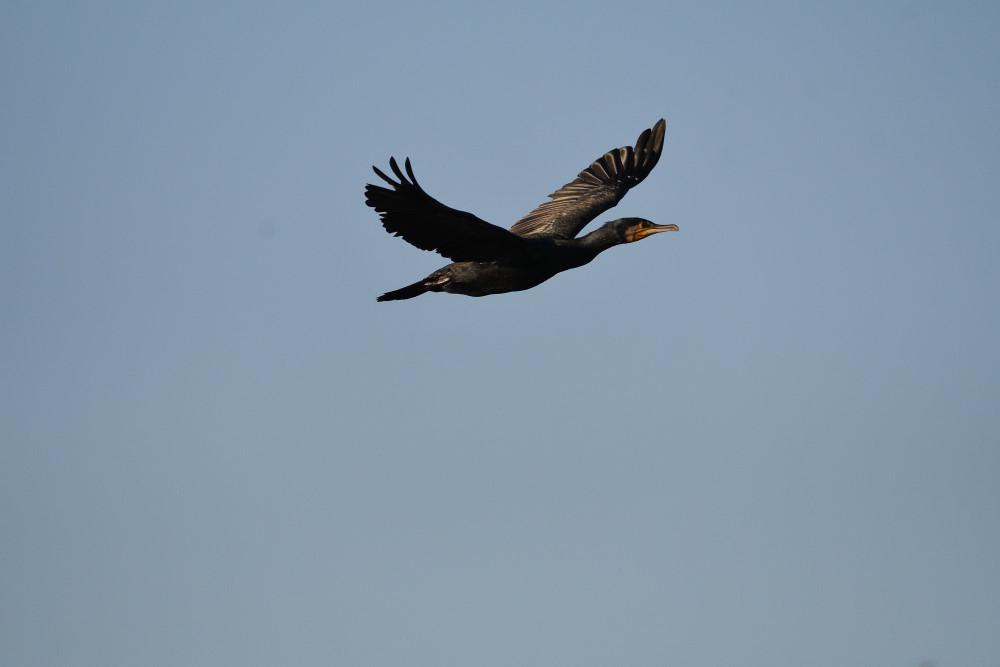 水鳥の飛翔シーン_f0202686_19263162.jpg
