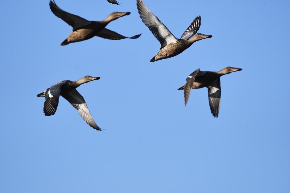 水鳥の飛翔シーン_f0202686_19264223.jpg