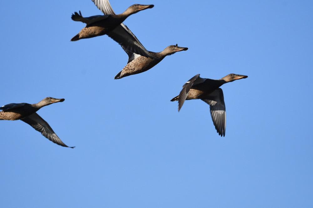 水鳥の飛翔シーン_f0202686_19264731.jpg