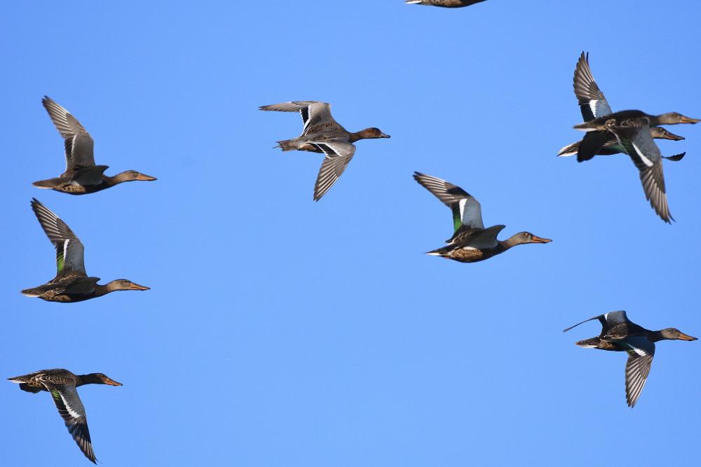 水鳥の飛翔シーン_f0202686_19265286.jpg
