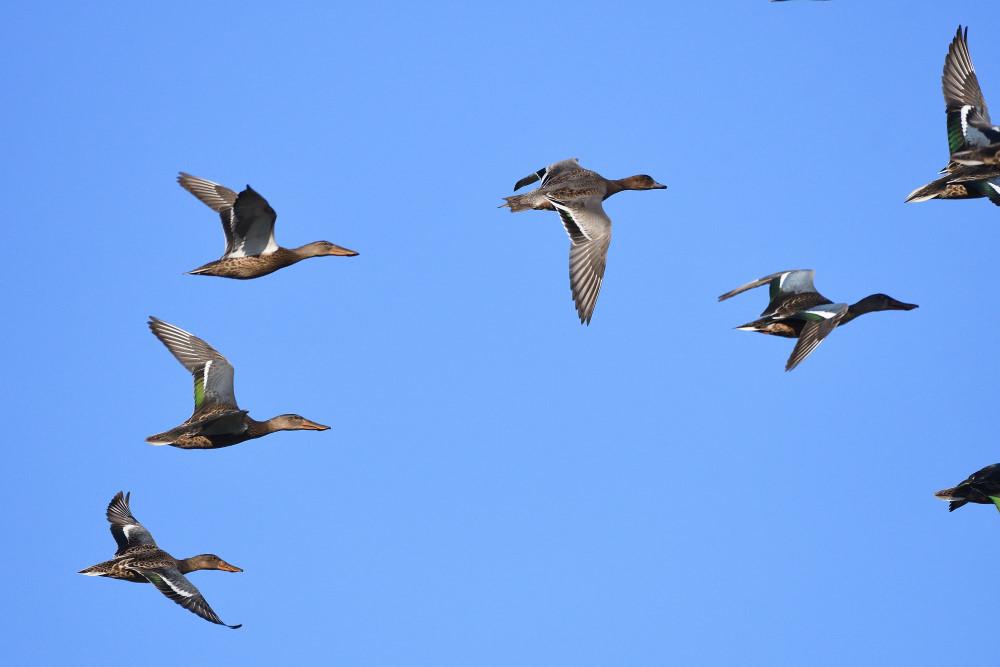 水鳥の飛翔シーン_f0202686_19265750.jpg