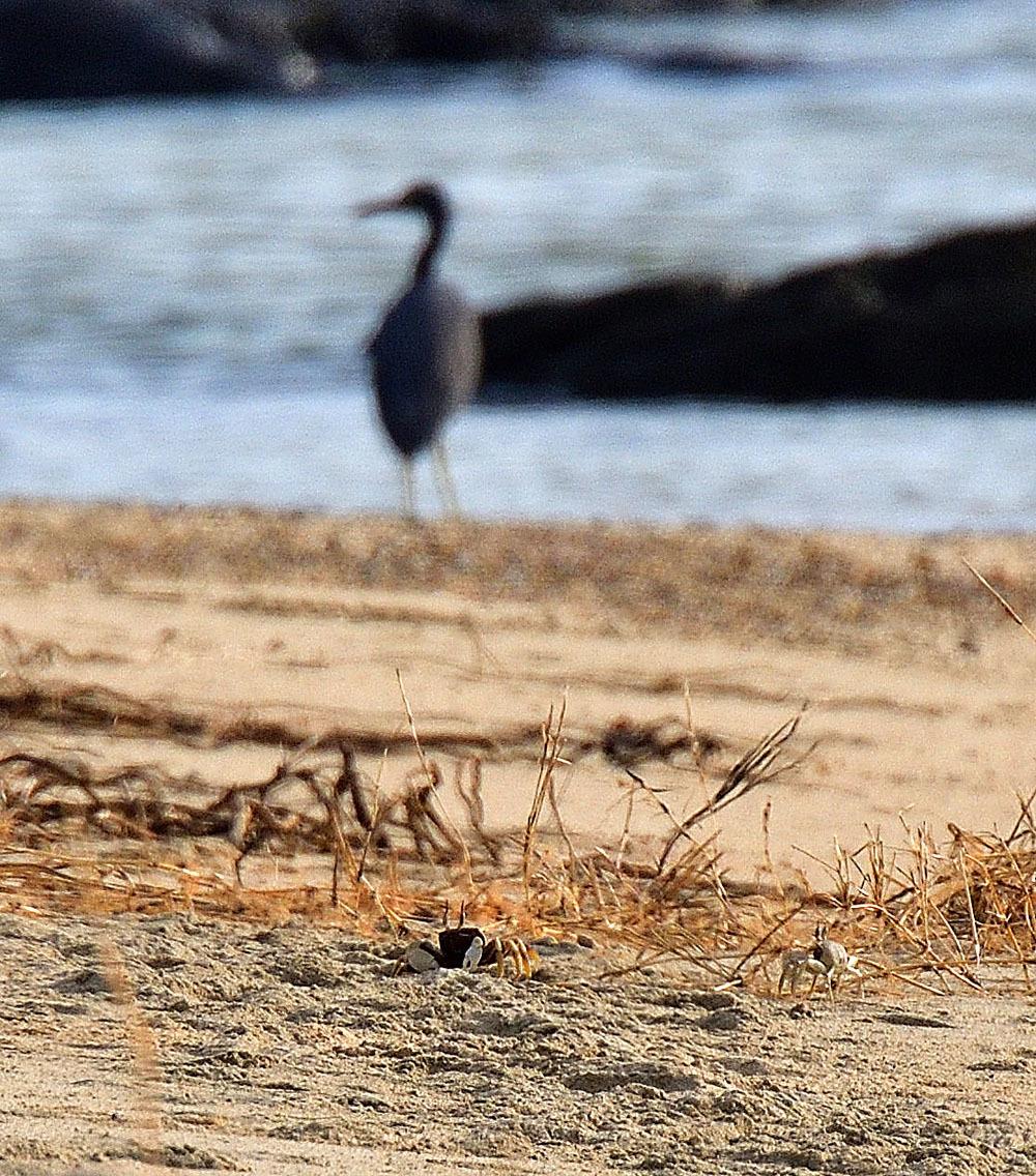 クロサギ 奄美大島・与路島の野鳥_e0362696_16400550.jpg