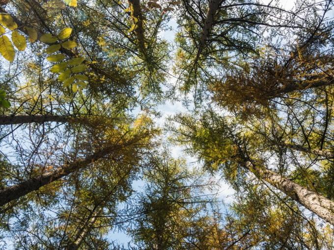 秋深まり・・忙しそうなエゾリス君!カラマツの紅葉も進みます。_f0276498_23312890.jpg