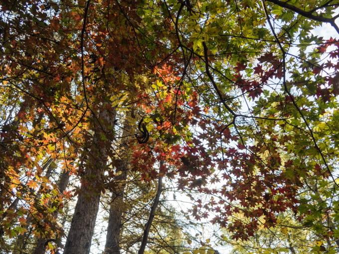 秋深まり・・忙しそうなエゾリス君!カラマツの紅葉も進みます。_f0276498_23325109.jpg