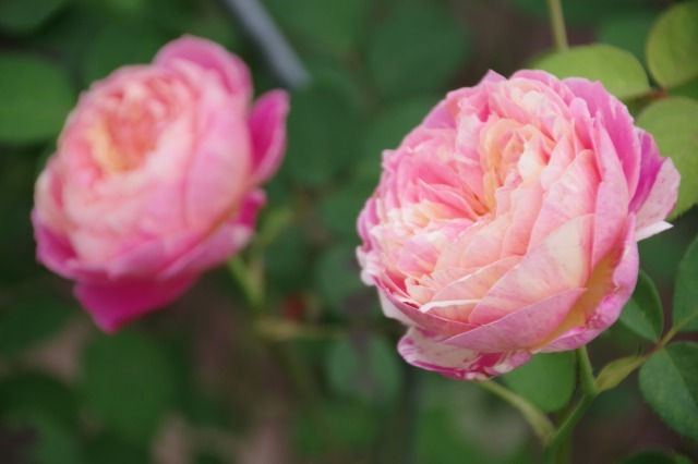小さなローズガーデンに咲くクロード・モネ_b0356401_20372250.jpg