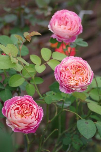 小さなローズガーデンに咲くクロード・モネ_b0356401_20373026.jpg