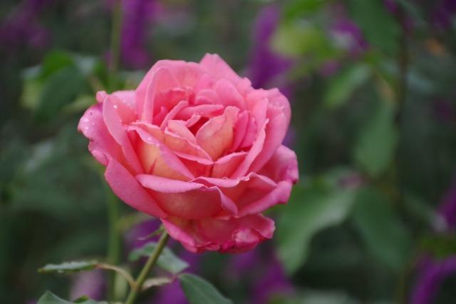 小さなローズガーデンに咲くクロード・モネ_b0356401_20381102.jpg