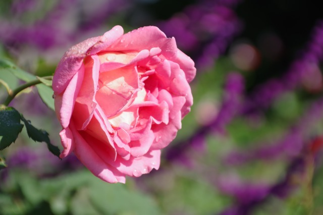 小さなローズガーデンに咲くクロード・モネ_b0356401_20381684.jpg