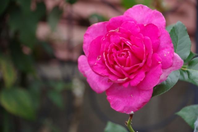 小さなローズガーデンに咲くクロード・モネ_b0356401_20382839.jpg