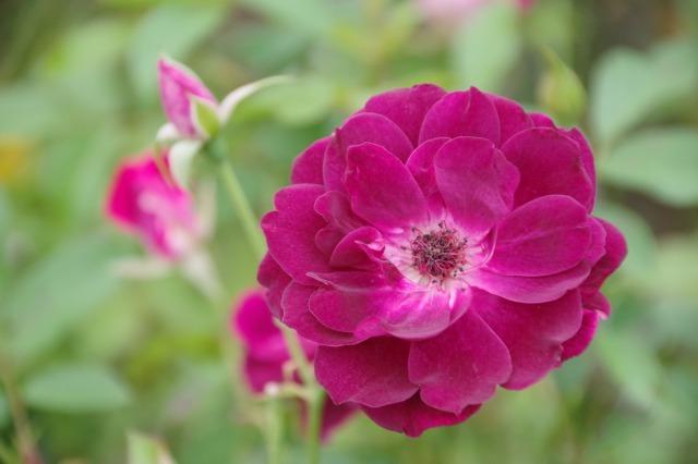 小さなローズガーデンに咲くクロード・モネ_b0356401_20383452.jpg