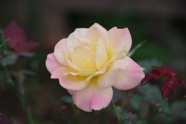 小さなローズガーデンに咲くクロード・モネ_b0356401_20384214.jpg