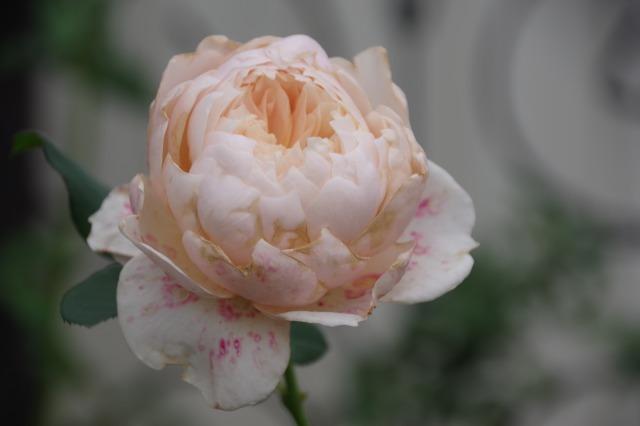 小さなローズガーデンに咲くクロード・モネ_b0356401_20384833.jpg