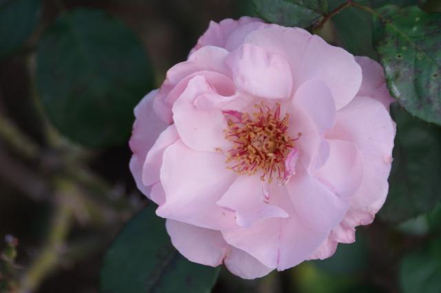 小さなローズガーデンに咲くクロード・モネ_b0356401_20391139.jpg