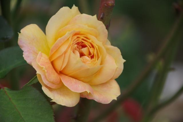 小さなローズガーデンに咲くクロード・モネ_b0356401_20393038.jpg