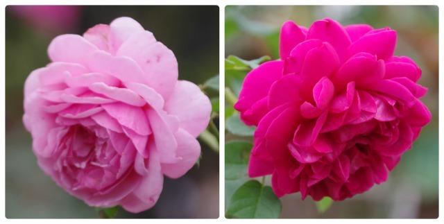 小さなローズガーデンに咲くクロード・モネ_b0356401_20394136.jpg