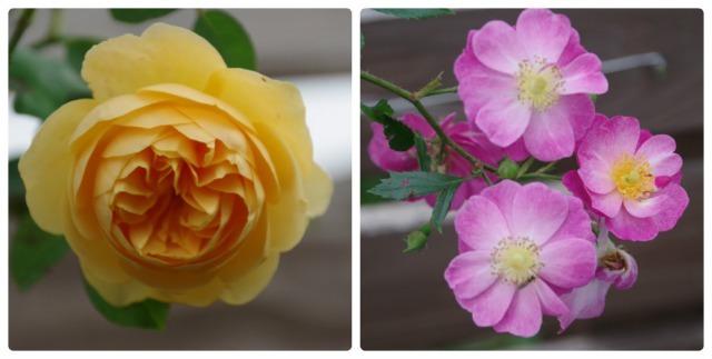 小さなローズガーデンに咲くクロード・モネ_b0356401_20394781.jpg
