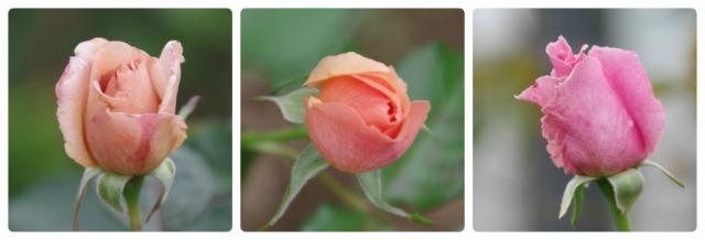 小さなローズガーデンに咲くクロード・モネ_b0356401_20395467.jpg