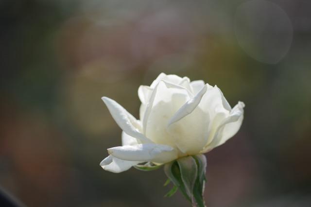 小さなローズガーデンに咲くクロード・モネ_b0356401_20395937.jpg