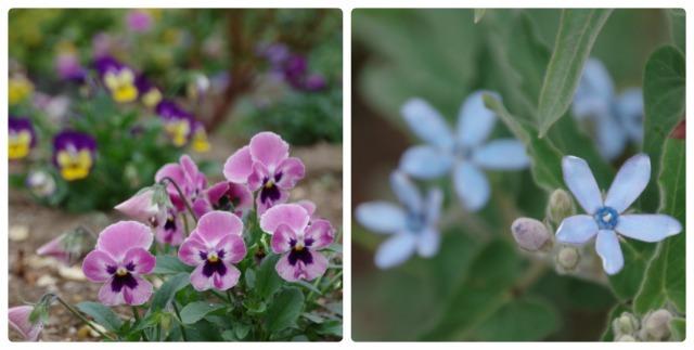小さなローズガーデンに咲くクロード・モネ_b0356401_20400681.jpg