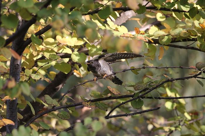 秋色の中でのツツドリ_f0239515_1751503.jpg
