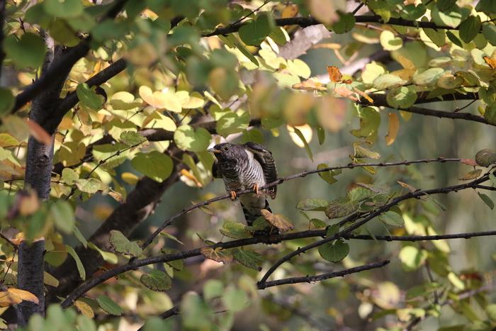 秋色の中でのツツドリ_f0239515_17522512.jpg
