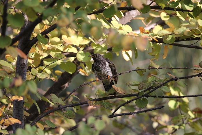 秋色の中でのツツドリ_f0239515_17544229.jpg