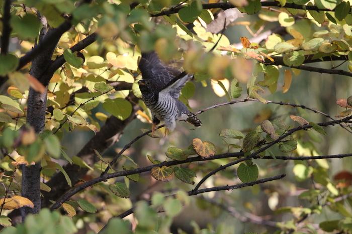 秋色の中でのツツドリ_f0239515_17575723.jpg