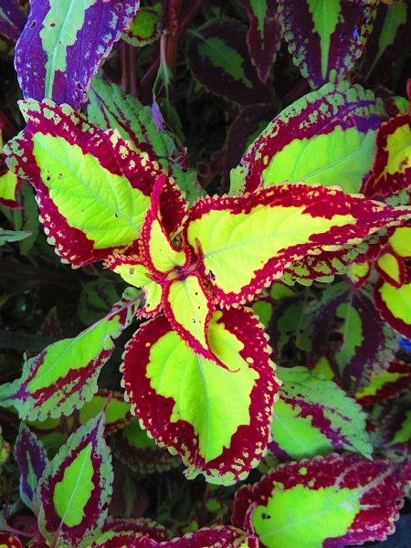 2018年10月29日 美しいコリウスの葉!(^^)!_b0341140_183732.jpg