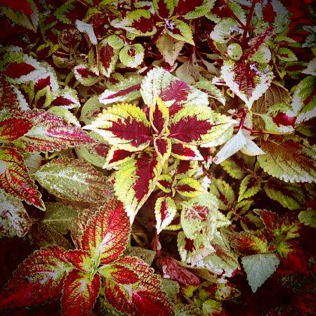 2018年10月29日 美しいコリウスの葉!(^^)!_b0341140_18381924.jpg
