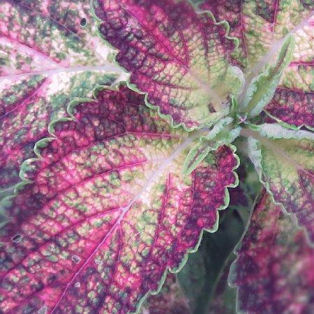2018年10月29日 美しいコリウスの葉!(^^)!_b0341140_18384123.jpg