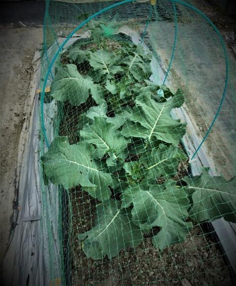 北摂の10月末の家庭菜園~♬_f0229190_15365489.jpg