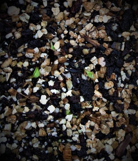 北摂の10月末の家庭菜園~♬_f0229190_15410257.jpg