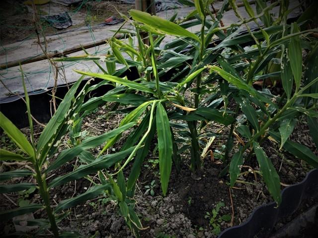 北摂の10月末の家庭菜園~♬_f0229190_15422023.jpg
