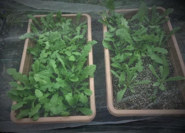 北摂の10月末の家庭菜園~♬_f0229190_15453886.jpg