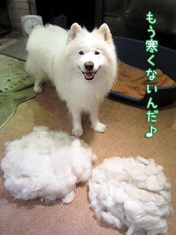 【極秘】犬の毛プロジェクト_c0062832_19441679.jpg