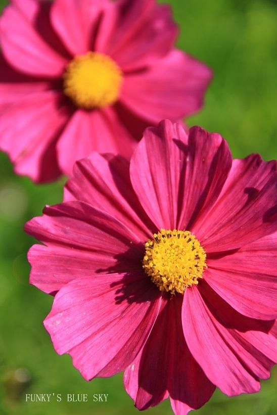 秋のお花畑・Ⅰ_c0145250_10114034.jpg