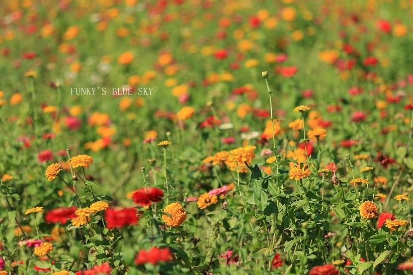 秋のお花畑・Ⅰ_c0145250_10115572.jpg