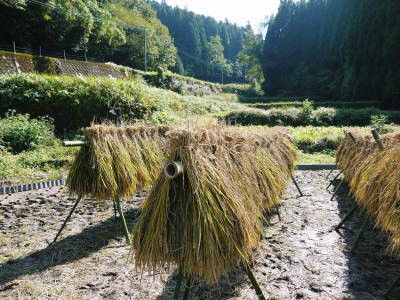 米作りへの挑戦!稲刈りの様子!手刈り&掛け干しなんです!その2(稲刈り終了しました!)_a0254656_16510330.jpg
