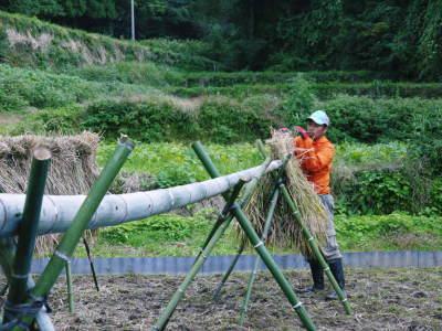 米作りへの挑戦!稲刈りの様子!手刈り&掛け干しなんです!その2(稲刈り終了しました!)_a0254656_17061109.jpg