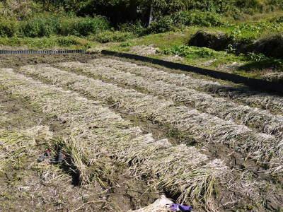 米作りへの挑戦!稲刈りの様子!手刈り&掛け干しなんです!その2(稲刈り終了しました!)_a0254656_17113510.jpg