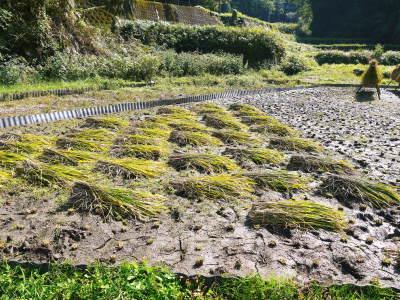 米作りへの挑戦!稲刈りの様子!手刈り&掛け干しなんです!その2(稲刈り終了しました!)_a0254656_17485074.jpg