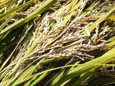 米作りへの挑戦!稲刈りの様子!手刈り&掛け干しなんです!その2(稲刈り終了しました!)_a0254656_17504370.jpg