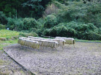 米作りへの挑戦!稲刈りの様子!手刈り&掛け干しなんです!その2(稲刈り終了しました!)_a0254656_18020404.jpg