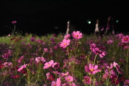 コスモス祭り『夜祭』_d0101562_17405789.jpg