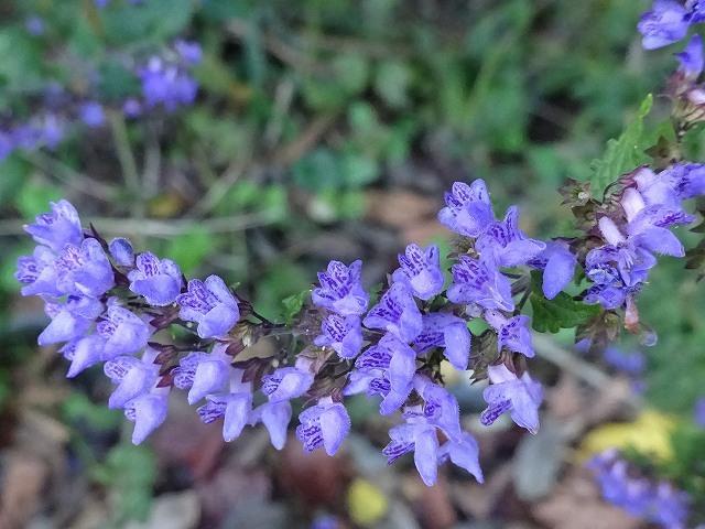 ときがね湖の湿生植物(センブリ、ヤマハッカ、リンドウ)_d0088184_22121524.jpg