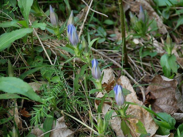 ときがね湖の湿生植物(センブリ、ヤマハッカ、リンドウ)_d0088184_22134413.jpg