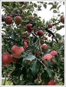 りんご_b0142989_22571992.jpg