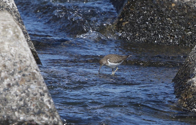 大きな川でイソシギを撮る_f0239515_1511138.jpg