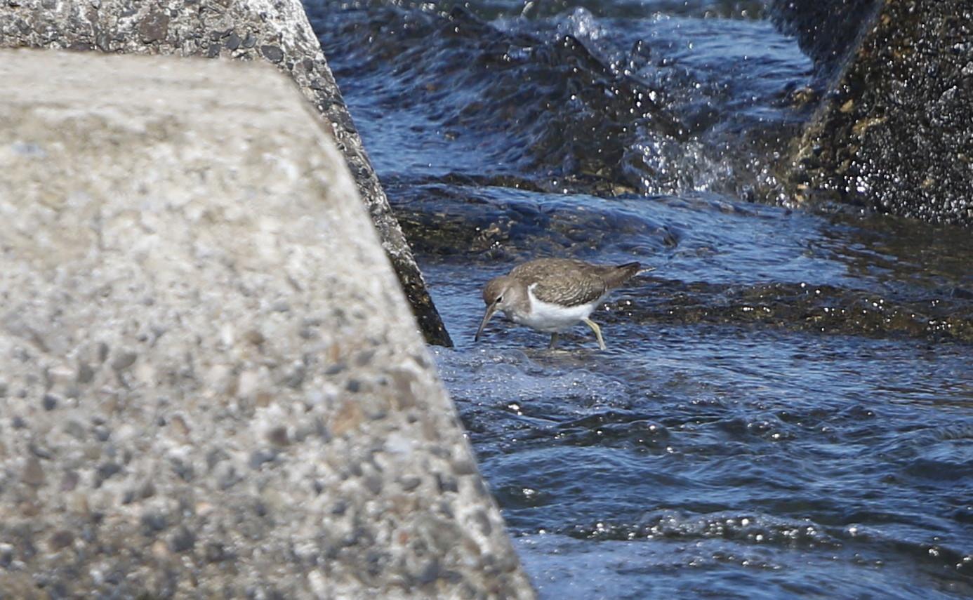大きな川でイソシギを撮る_f0239515_1511234.jpg