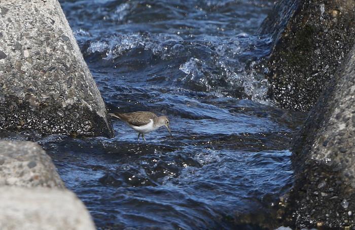 大きな川でイソシギを撮る_f0239515_15114587.jpg